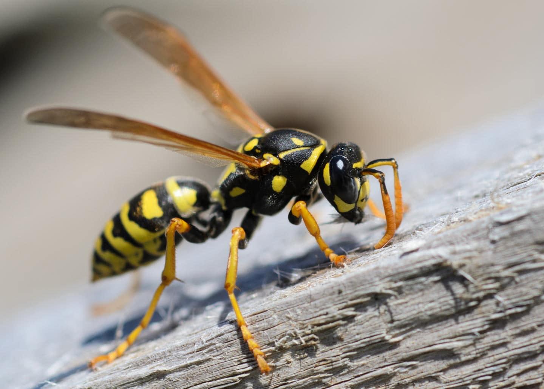 Eine Wespe auf einem Holzbalken